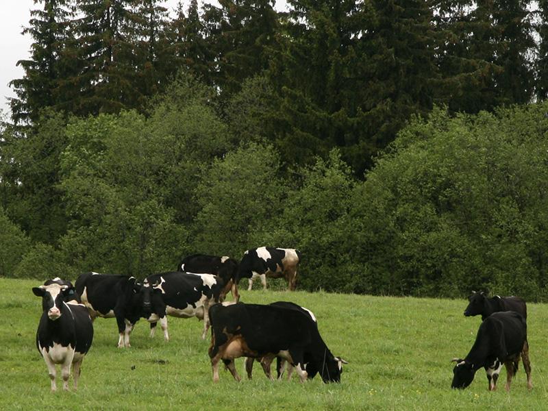 Фотография десяти коров у леса в Подмосковье
