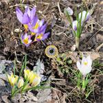 Крокусы зацвели в апреле на Павловских Дачах