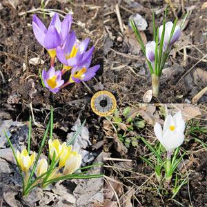 Четыре фотографии цветущих крокусов разных сортов - Павловские Дачи, Лотошинский район, апрель 2016 года